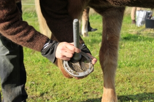 PowerLaser use on Hoof