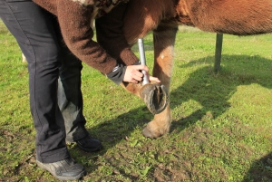 PowerLaser being used on horse ankle