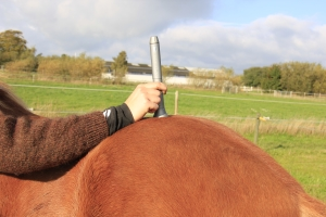 In this picture, a horse is being treated on its lower back with a PowerLaser Basic 1500.